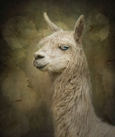 Portrait of a blue eyed Alpaca: Eyed Alpaca, Alpacas Xoxo, Blued Alpaca, Animals I D, Llamas And Alpacas, Alpacas Fact As