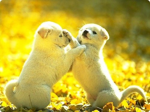 Opposing FacePaws: Cute Puppies, Adorable Animals, Cute Puppy Pictures, Cute Animals, Puppy Fight, Cute Dogs