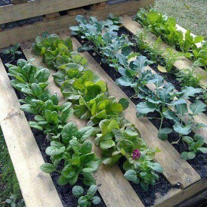 Old wooden pallet to keep weeds down