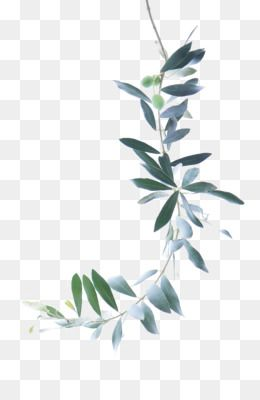 Leaves Png Leaves Transparent Clipart Free Download Eucalyptus Polyanthemos Royalty Free Watercolor Paintin Flower Sketches Leaf Drawing Flower Backgrounds