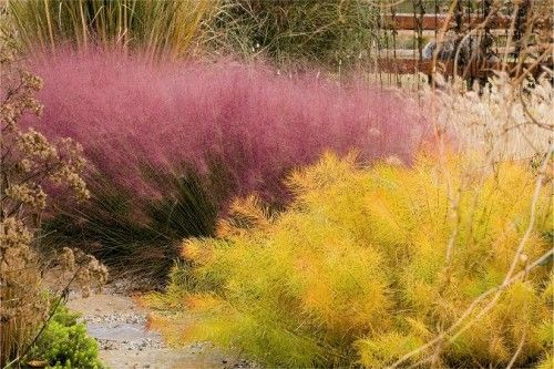 Pink muhly grass and the autumn foliage of Arkansas bluestar