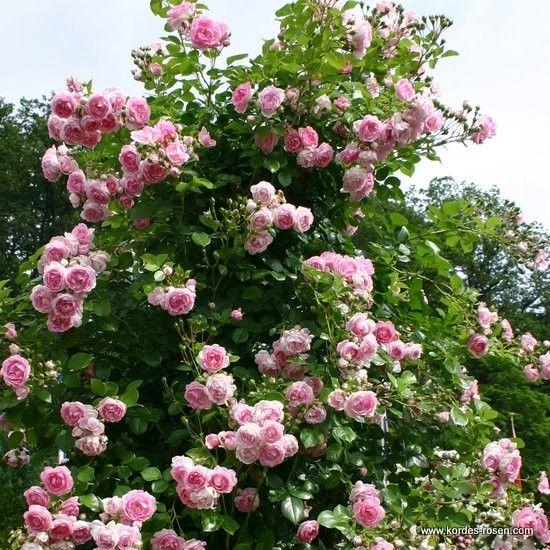 kordes 39 jasmina 39 rosen roser roses pinterest. Black Bedroom Furniture Sets. Home Design Ideas
