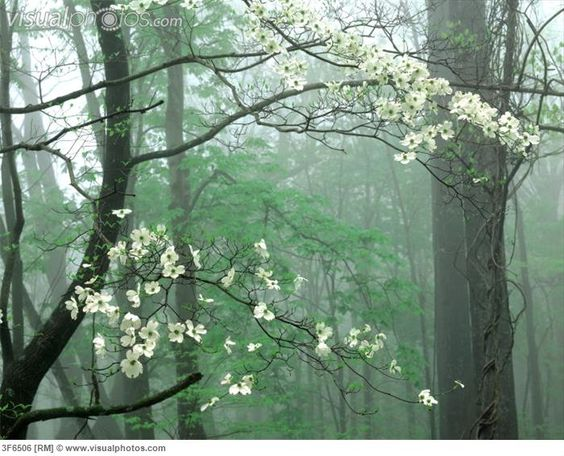 dogwook blossoms | Dogwood blossoms. (Blossoming Dogwood, Great Smoky Mountains National ...