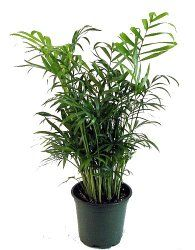 Easy to care for parlor palm is one of the few types of for Easy to take care of indoor plants