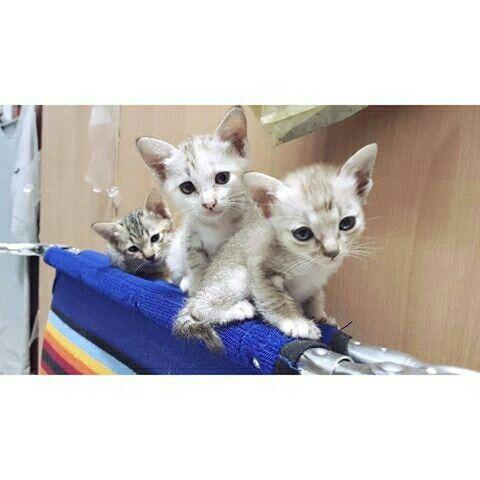 แสบ 3 แมว แมวบ าน แมวไทย ล กส ส ม Cat Cats Pet Pets Neko Gatos