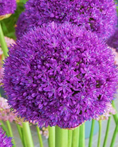 Allium Ambassador Bulb Flowers Onion Flower Partial Shade Plants