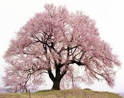 Resultado de imagem para cerejeiras hd