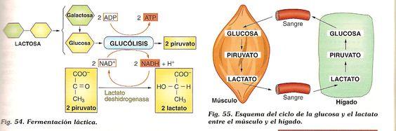 reaccion quimica de la fermentacion lactica
