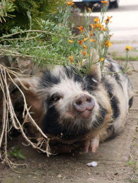 Kunekune Pigs Photo Gallery