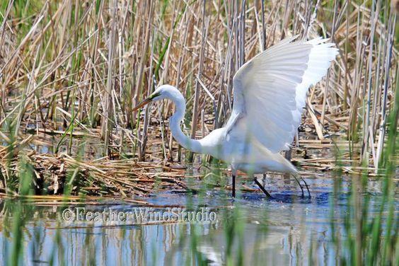 Great Egret Photo | Long Legged Wader | Large Bird Photography | White Bird Wall Art | Heron | Crane | Wetland Marsh Animal | Bird Print by FeatherWindStudio on Etsy