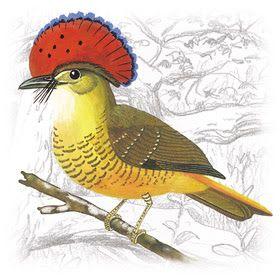 Maria-Leque (Onychorhynchus coronatus)