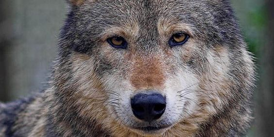 STOP The War on Wolves