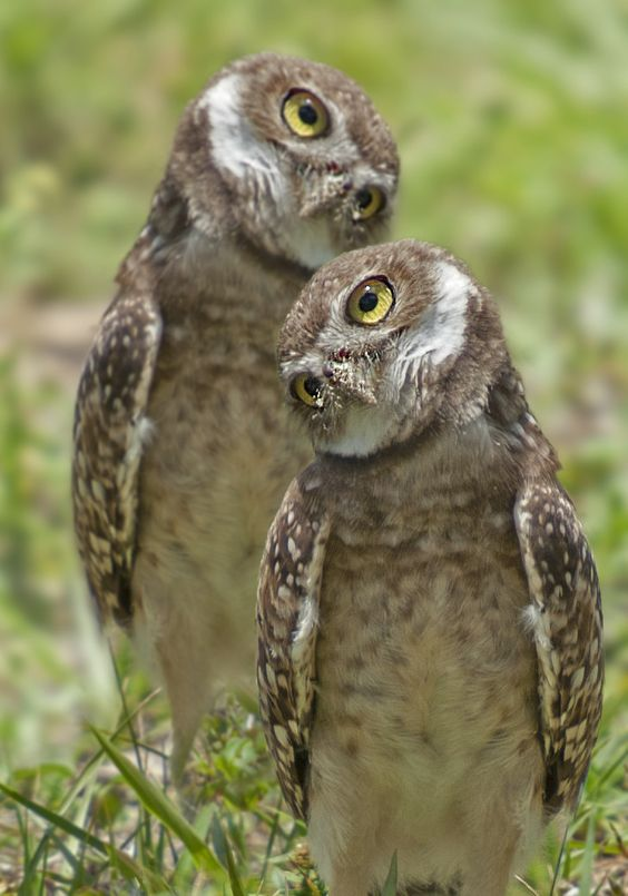 Burrowing Owls.: