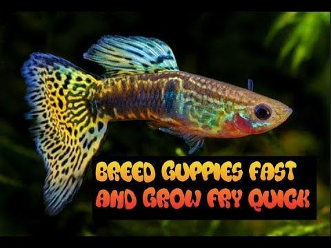 How To Breed And Care For Guppies Grow Fry Fast Youtube Guppy Guppy Fish Breeds