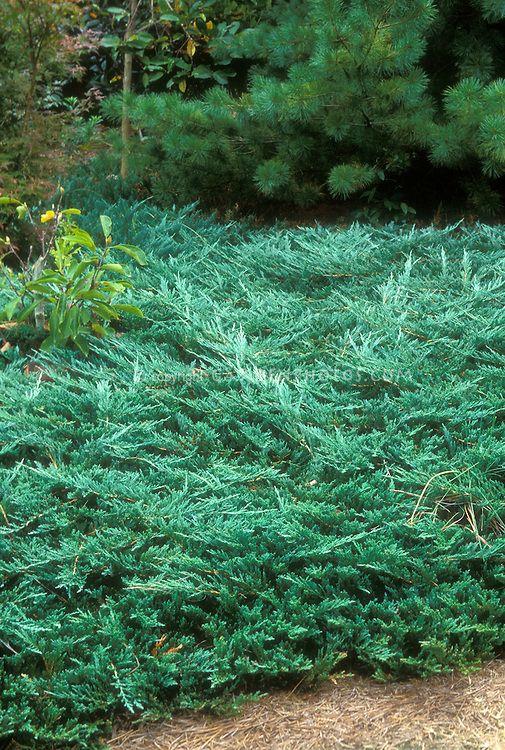 Juniperus Horizontalis Wiltonii Blue Rug Juniper