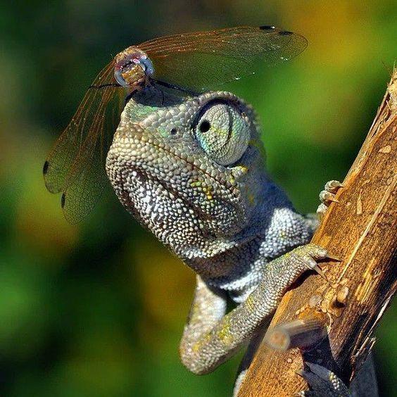 爬虫類カメレオンとトンボ
