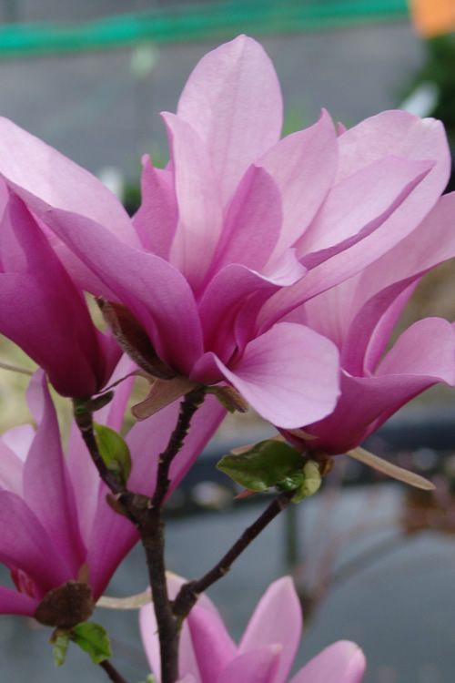 Buy Jane Magnolia Tulip Tree For Sale Online From Wilson Bros Gardens Jane Magnolia Magnolia Fragrant Flowers