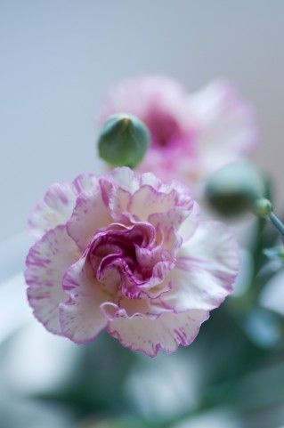 white carnation with pink edges