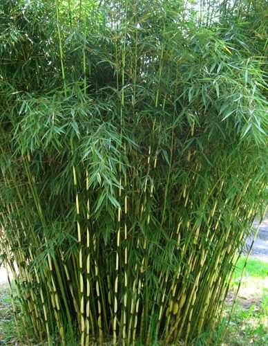 Fargesia A non running clumping bamboo thats evergreen and fast growing. Depending on the variety can range from 6-8' to 12-18' tall. Did I mention its shade tolerant AND deer resistant? Beautiful soft texture complements other shade loving  broadleaf and needled evergreens well.