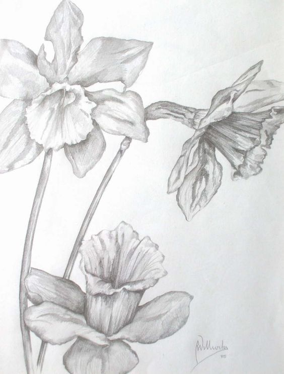pencil drawing daffodil - Google Search | Tattoos ...