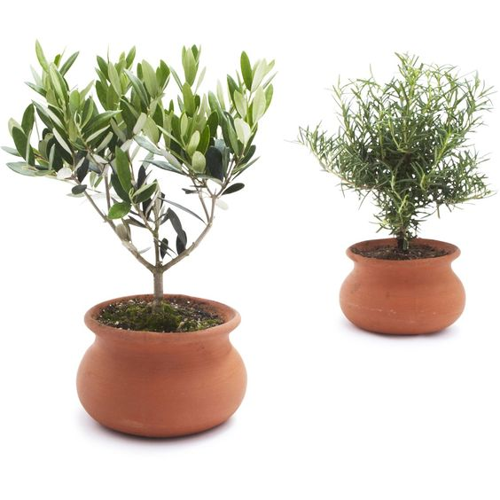 Washpot Set of Two—Rosemary and Olive Tree   Sur La Table