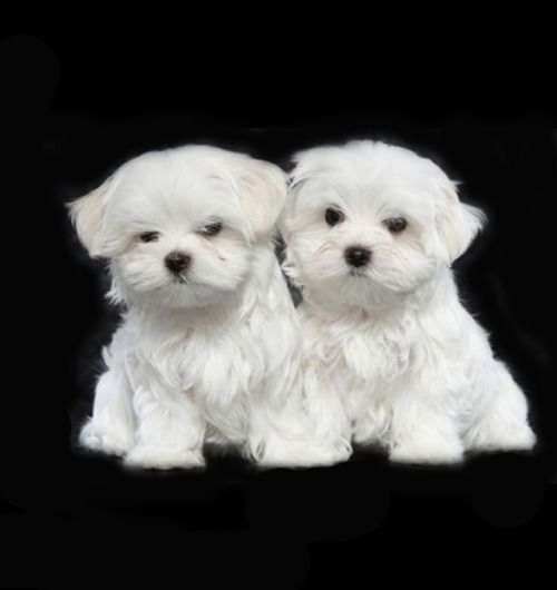 Pin By Susan On Art Grome Maltese Puppies For Sale Maltese