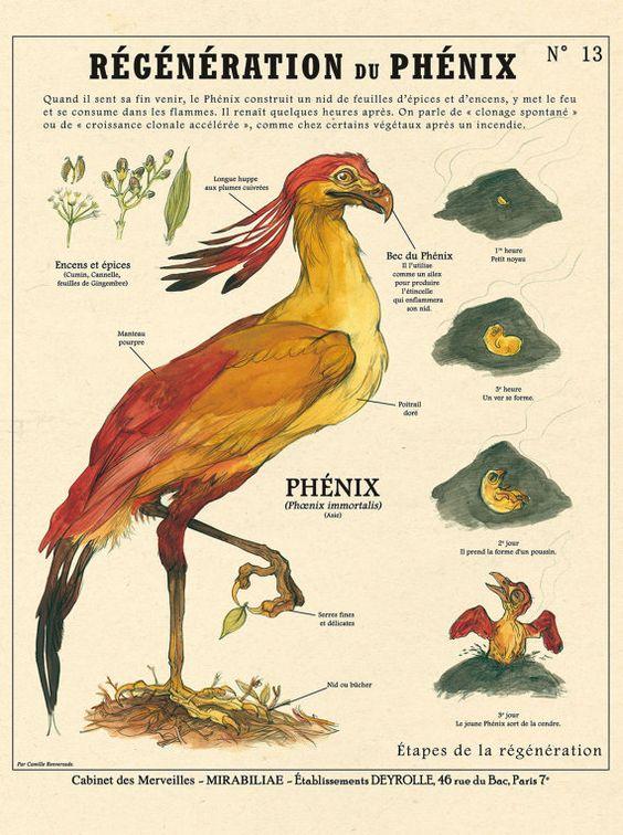 Planche Créatures Fantastiques Deyrolle : Régénération du phénix