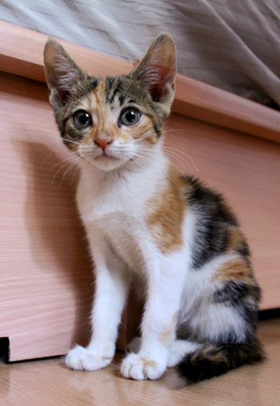 calico kitten - Google Search