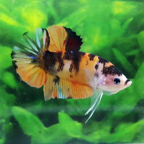 Live Betta Fish Fancy Tiger Koi Hmpk Halfmoon Plakat Male Betta Betta Fish Fish
