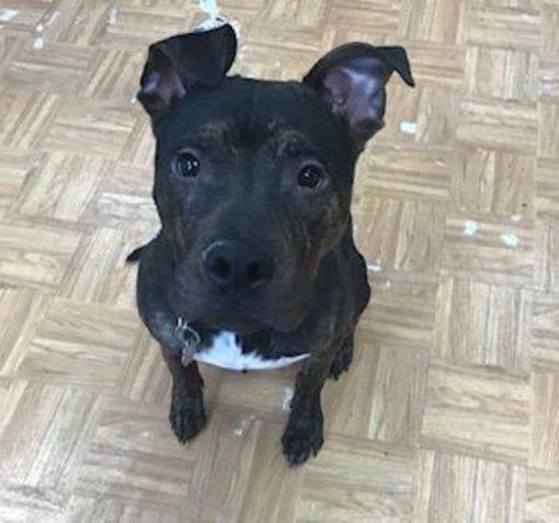 Oak Pak Il Labrador Retriever Meet Bruno A Pet For Adoption