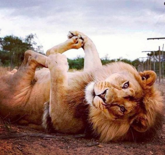 cuteanimalspics:  Playing with his paws (Source: http://ift.tt/1bWVGfp)