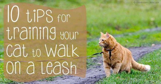 Using a cat harness or leash to walk your cat is a good idea, but make sure you follow these cat training tips as well.