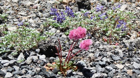 Alpine Water Flowers are local resident plants at Crater Lake.