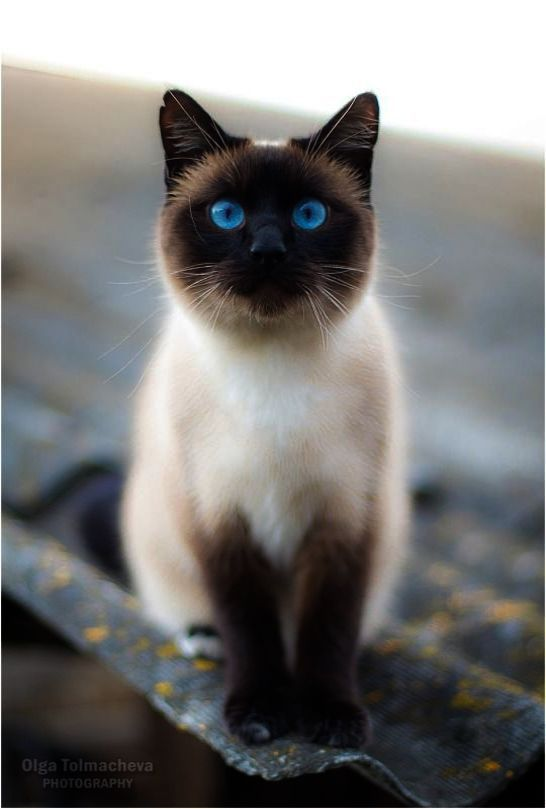 Get Some Beautiful Cat Names And Meanings Great Siamese Kittens Siamese Cats Pretty Cats