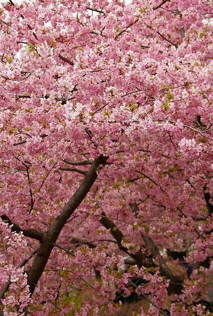Icymi Cherry Trees In Virginia Sakura Cherry Blossom Blossom Trees Cherry Tree