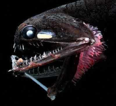 bioluminescent barbeled dragonfish. this terrifying fish gets its, Reel Combo