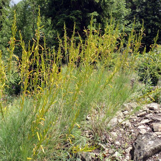Die Liburnische Junkerlilie (Asphodeline liburnica) ist graziler und ungewöhnlicher als die bekanntere Gelbe Junkerlilie (Asphodeline lutea)
