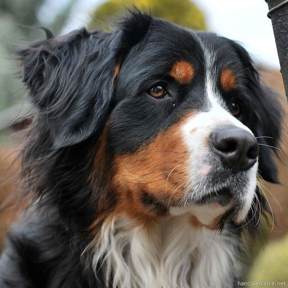 Nely - Bernese Mountain Dog by hancule83