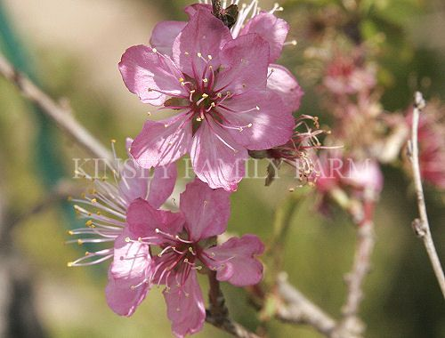 39 hiromi 39 dwarf weeping cherry tree a small shrub or dwarf for Pink small tree