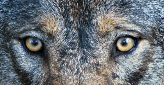 """#wolf- """"Eyes are the mirror of the soul"""""""