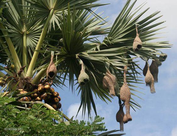 Thốt nốt -Cái gốc văn hóa của người Khmer - cội nguồn sự sống