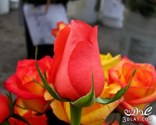 أجمل ورود من الطبيعه صور ورود وزهور روعه صور طبيعية جميله Luxury Flowers Flowers Rose