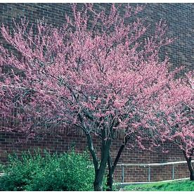 3 25 Gallon Pink Kwanzan Flowering Cherry Flowering Tree In Pot L1023 Lowes Com Flowering Trees Potted Trees Garden Trees