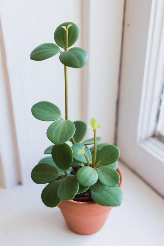 Peperomia hope! I'm a sucker for any plant with uniform leaves. Also, it's growing in February! : houseplants