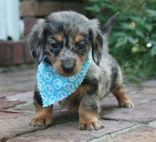 Derby the blue dapple mini dachshund :) Looks like a longhaired version of Leyna!!