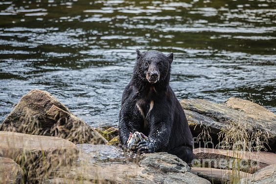 A BEAR'S LUNCH- C: Available as a fine art print, canvas and greeting cards.   Black Bear at Neets Bay, Alaska