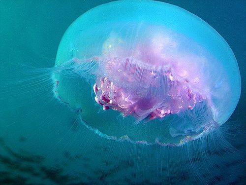 Ulmariidae ( Moon jellyfish)