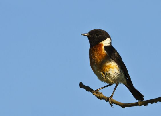 African Stone Chat (Male)