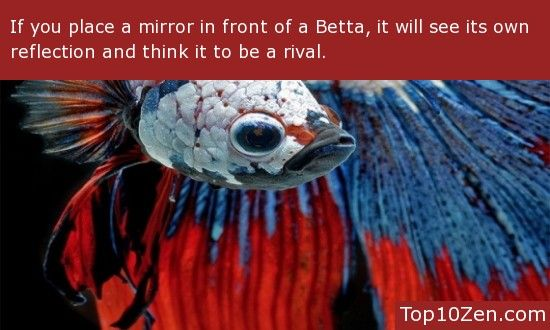 how to make cheap mirror for beta fish