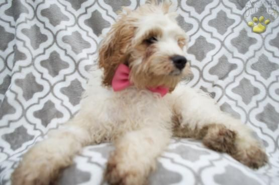 Take Home Daisy Mae Today Cockapoo Puppy For Sale In Honey